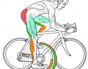 Svaly namáhané pri cyklistike